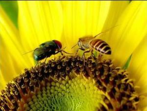 lebah lalat